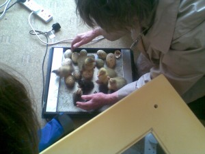 Spring Fair - Ducklings and Goslings